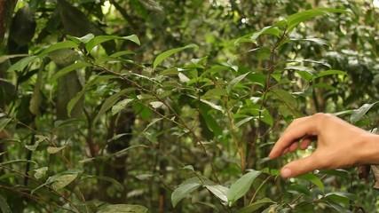Coca bush (Erythroxylum sp.) growing wild, Ecuador
