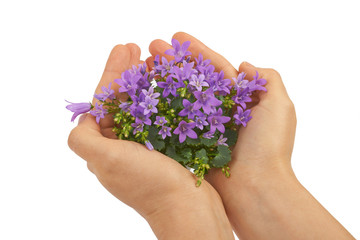 Flowers blue bells in hands on a white background