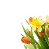 Blumen  Freisteller - Osterglocken und Tulpen
