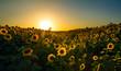 Field of Sunflowers - 78281870