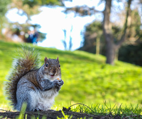 Squirrel eating on a treat in a park in shadow with green grass