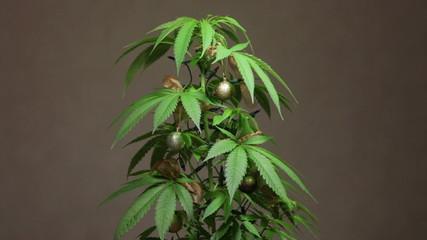 Marijuana Christmas tree, decorated Cannabis plant with lights.