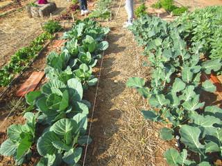 cabbage and broccoli in organic plot