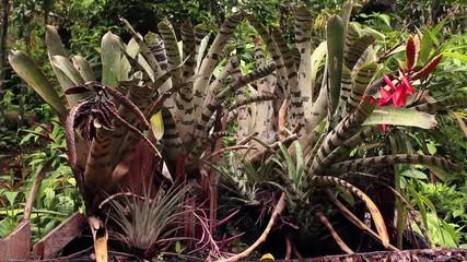 Group of bromeliads (Aechmea zebrina) growing on a tree stump
