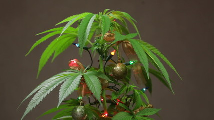 Cannabis Christmas tree, decorated Cannabis plant with lights.