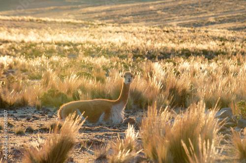 Foto op Aluminium Lama Smiley Vicuna near Nazca