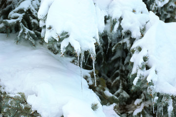 Spruce covered with snow and icicles, closeup view