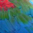 Greenwinged Macaw feathers