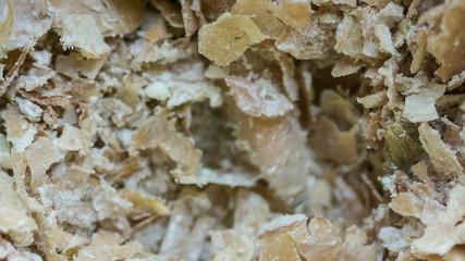screwworm maggots closeup
