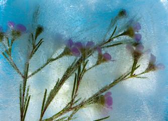 frozen flora - waxflower