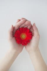赤いガーベラを持つ女性の手