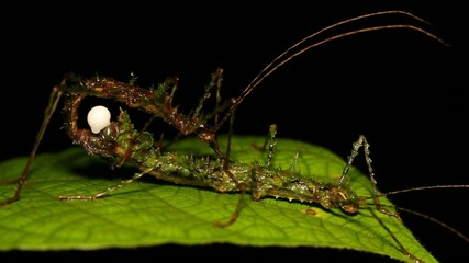 Spiny moss-mimicking stick insect (Acanthoclonia sp.) mating