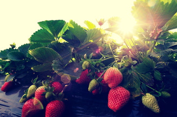 strawberry plants grow in garden