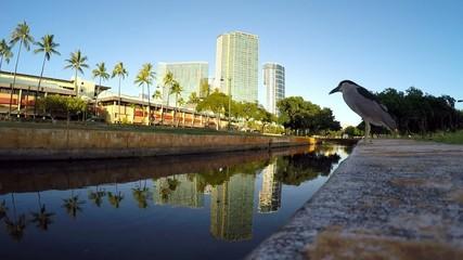 close up Black-Crowned Night Heron ala moana park hawaii oahu