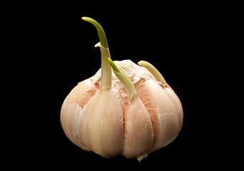 Sprouting garlic on black