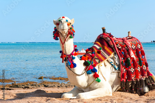 Tuinposter Algerije White camel resting on the Egyptian beach. Summertime outdoors.