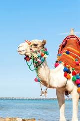 White camel standing on the Egyptian beach. Summertime outdoors.