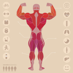 Human, anatomy, muscles, back, sports, medical, vector