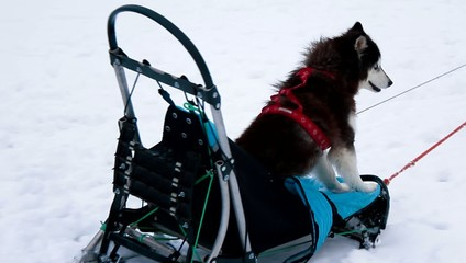 husky dog rides in a sleigh