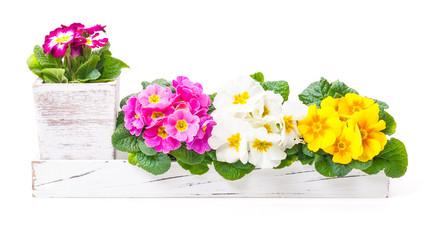 Primeln, Frühlingsdekoration, Blumenschmuck