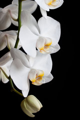 white orchid flower on a black background