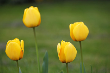 four yellow tulip flowers springtime