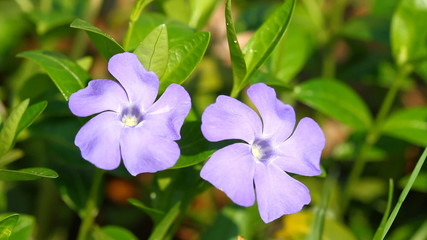Periwinkle flowers and and singing nightingale