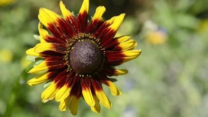 Sommerblume Sonnenhut