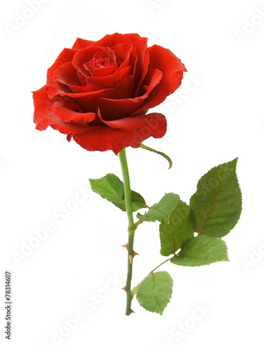 Papiers peints Fleur Red rose with leaves isolated on white