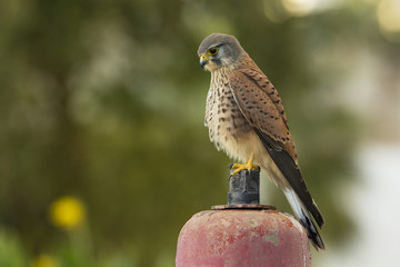 Kestrel takes a rest