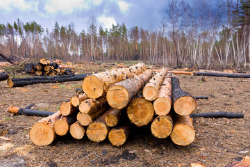 pine logs in forest