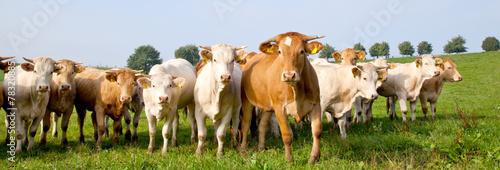 Fotobehang Koe Kühe auf der wiese