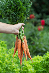 Man hand holding freshly harvested carrots