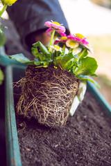 Gardener planting the flowers in spring.