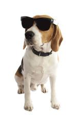 Beagle brother