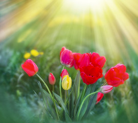 Tulips in flower garden