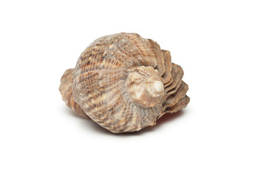 seashell isolated on the white background