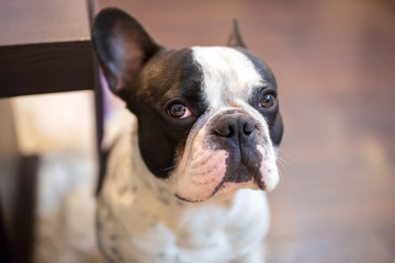 French bulldog at home