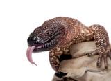 Venomous Beaded lizard isolated on white poster