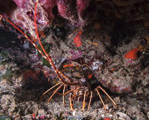 Mediterranean Sea, U.W. photo, lobster - FILM SCAN