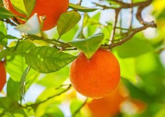 Orange on tree, ripe fruits