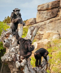 Monkeys on tree, chimpanzee in wild