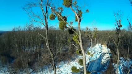 tree affected by mstletoe