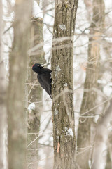 The black woodpecker (Dryocopus martius) on the tree