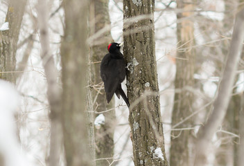 The black woodpecker (Dryocopus martius) on the tree in forest