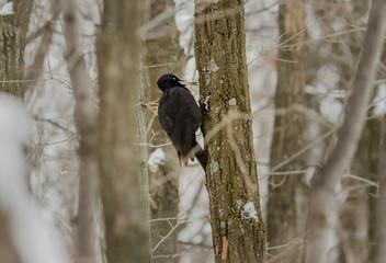 The black woodpecker (Dryocopus martius) on the tree