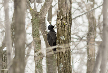 The black woodpecker (Dryocopus martius) in the forest