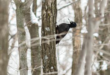The bird black woodpecker (Dryocopus martius) on the tree