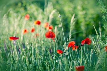 Red poppy flowers in green grass (in meadow)