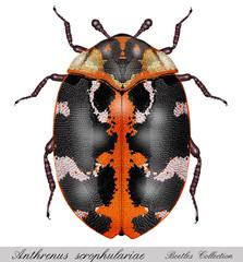 carpet beetle, anthrenus scrophulariae